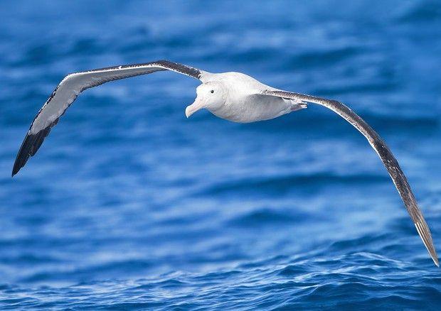 Un esemplare di albatro urlatore, appartiene a una delle specie minacciate seguite dai satelliti (fonte: JJ Harrison, jjharrison89@facebook.com) © Ansa