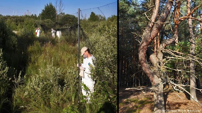 Mousseau's field crew collecting pollen and insect samples on the left, with the Chernobyl reactor in the distance. Right, a mutant pine tree at Chernobyl