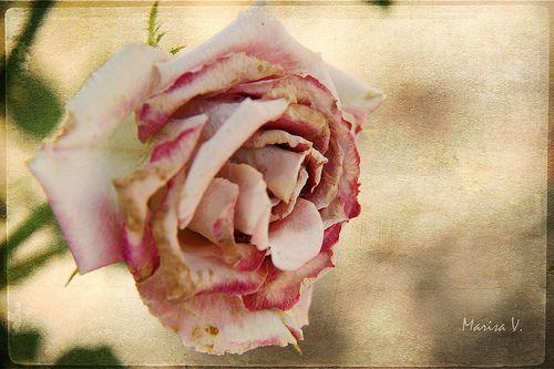 La rosa marchita