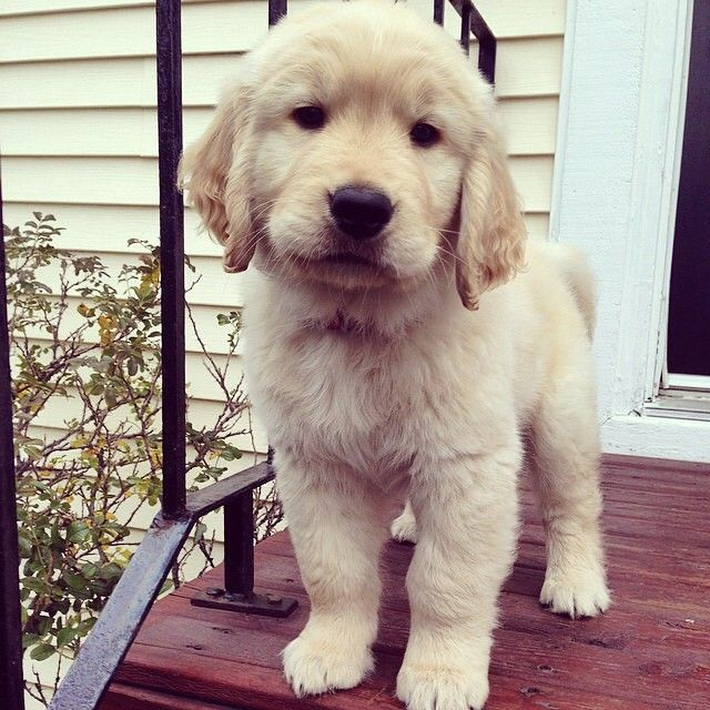 golden retriever puppy!!
