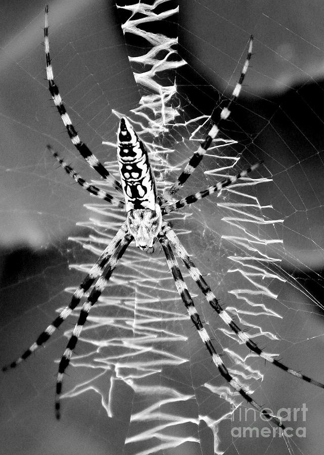 Zipper Orb Spider and Web