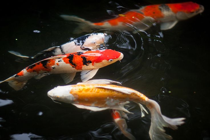 99 best images about waterworld on pinterest september for Portland japanese garden koi