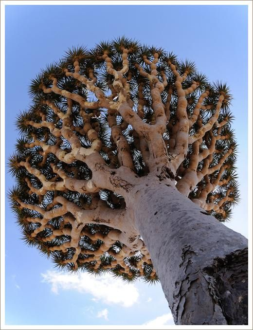 Dracaena cinnabari, the Socotra Dragon Tree or Dragon Blood Tree, is a Dragon Tree native to the Socotra archipelago in the Indian Ocean. It is so called due to the red sap that the trees produce. Image Via: Divine Caroline