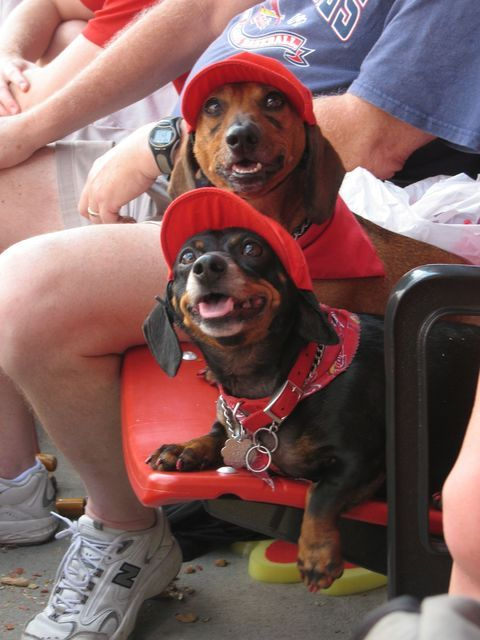 Best Cardinals fans EVER! This pin links to a site with 56,000 dachshund pictures. No joke.Weenie Dogs, Hotdog Stuff, Dachshund, Doxie, Ball Games, The Games, Wiener Dogs, Hot Dogs, Animal