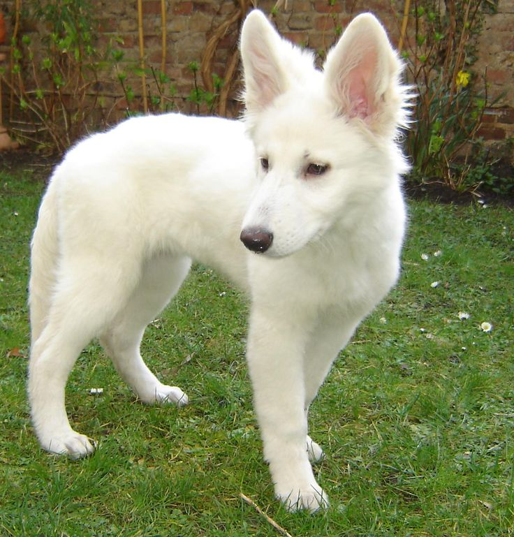 This is a Swiss White Shepard which is a separately recognized breed from the White and German Shepherds