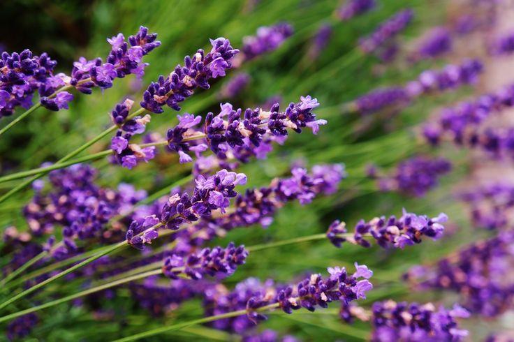 #lawenda #lavender