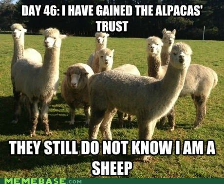 Undercover sheep-I want went to an alpaca farm and wedding with my bff cathy...priceless memories