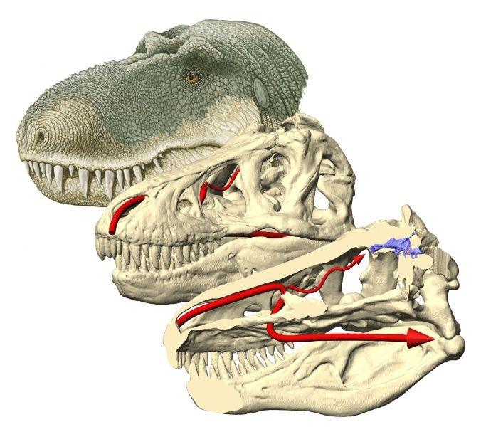 DINOSAURICON T | Tsjok's blog    Tyrrannosaurus rex had een verbijsterend klein brein (blauw), onthult een CT scan. Het binnenoor (roze) is er goed op te zien. In rood is de luchtstroom aangegeven die onder meer naar het reukgebied leidt (kleine rode pijl). Beeld: L. M. Witmer & R. Ridgely, Ohio University, en W. Parsons