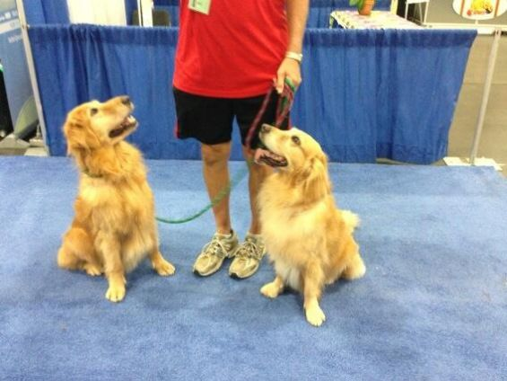 akc meet the breeds golden retriever