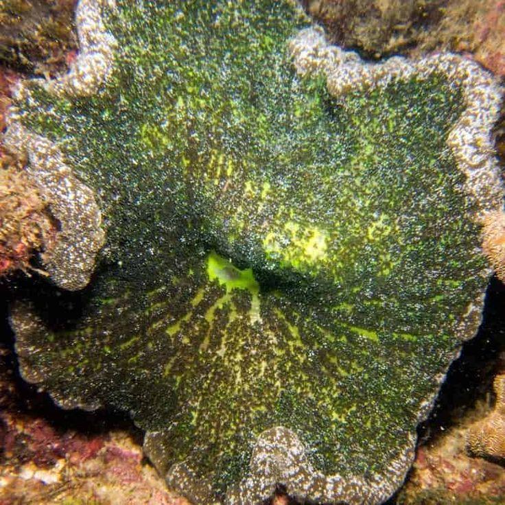 Adhesive anemone cryptodendrum adhaesivum anemone