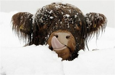 Celtic - a highland cow during a winter deluge.