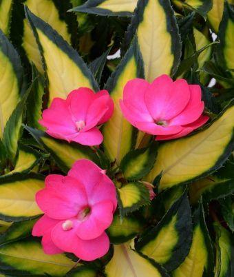 Impatiens SunPatiens® Compact Tropical Rose 'SAKIMP037'Impatiens SunPatiens® Compact Tropical Rose 'SAKIMP037'