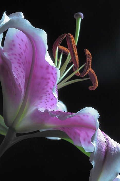 Stargazer lily, my favorite flower ^_^ I want tons and tons of these outside my windows when we have a house. Their fragrance is heavenly <3