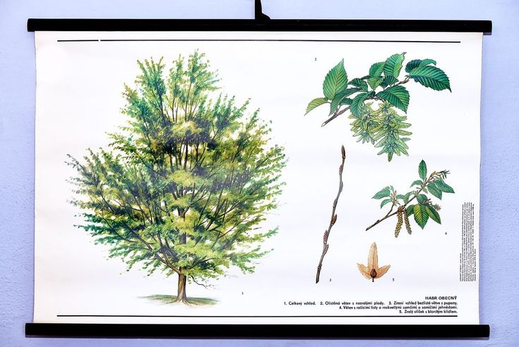 Vintage school wall chart botanical original Hornbeam art poster Rare home decor #KomeniumPraha