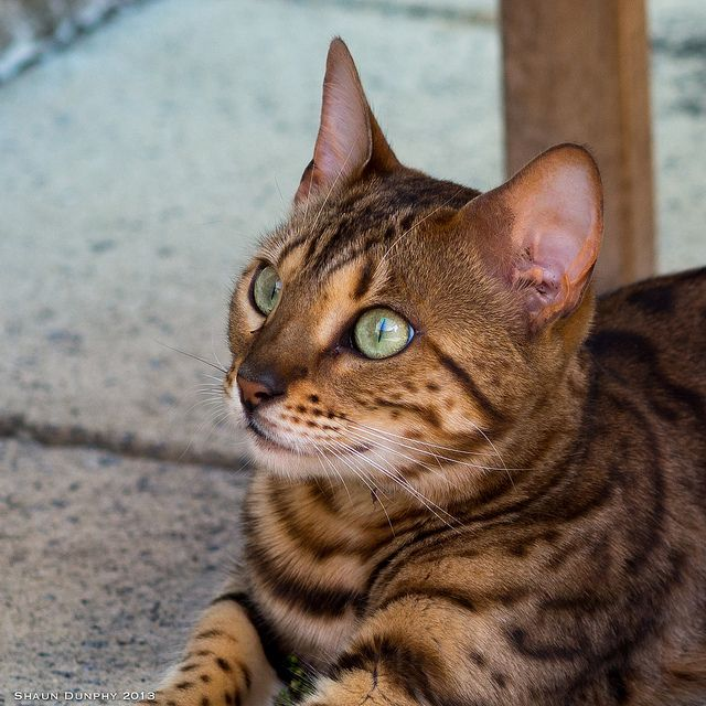 "Some Bengal cats are born with a ""glitter gene"", which gives the Bengal's coat a hue as if it has been lightly sprinkled with gold dust."