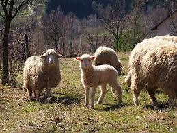 Ekologia na Podhale jest szczegolnym elementem http://puszystaowca.pl/ekologiczny-wypas-owiec/
