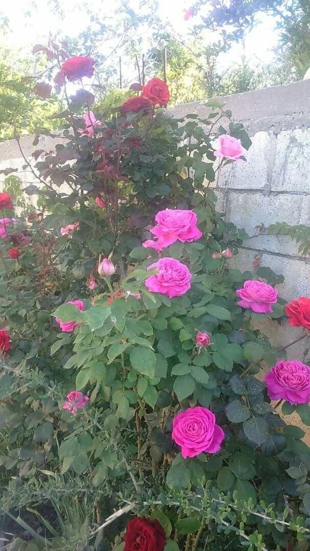 ورد جوري من الساحل السوري Plants Rose Landscape
