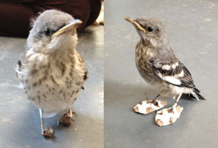 Little 'snowshoes' made from cardboard and tape helped this mockingbird's feet…