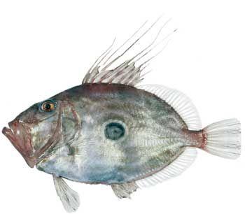 John Dory Fish · Pez de San Pedro · Gall de Sant Pere