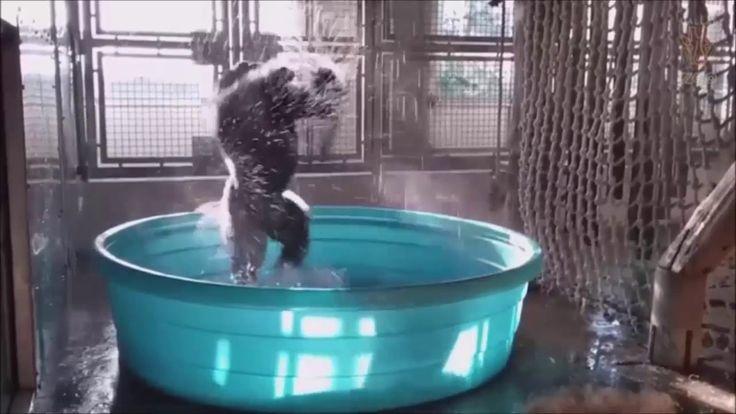 Zola, A 14-Year Old Male Western Lowland Gorilla At The Dallas Zoo Danci...