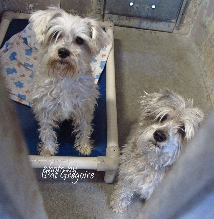 A4793916 I am a 1 yr old female white Schnauzer (mini