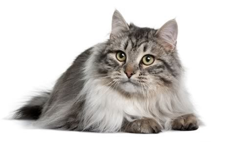 From Russia with love: that's the Siberian, a glamorous native cat from the taiga of Siberia, a forested area with a subarctic climate that no doubt contributed to this cat's long, thick, protective coat. See all Siberian characteristics below!
