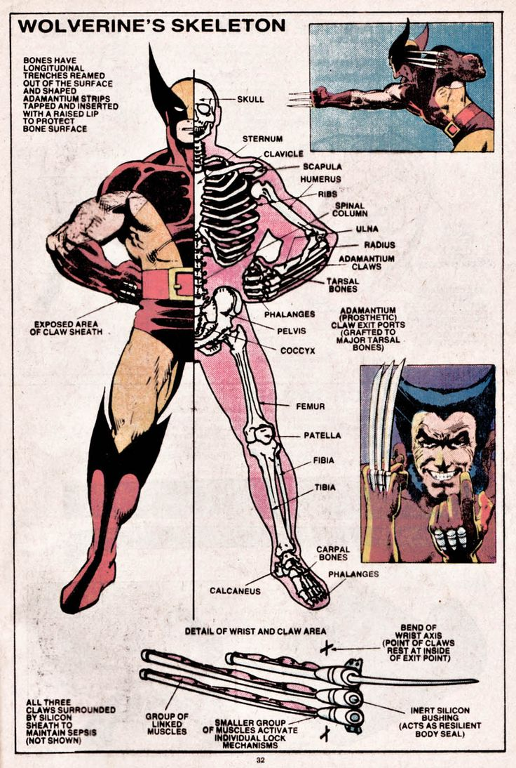 themarvelwayoflife:  The Official Handbook of The Marvel Universe #15 (1984). Wolverine's Skeleton by Eliot R. Brown.