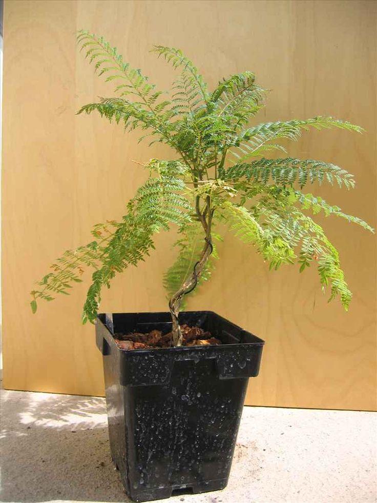 Mejores 39 im genes de jacaranda bonsai en for Planta ornamental jacaranda