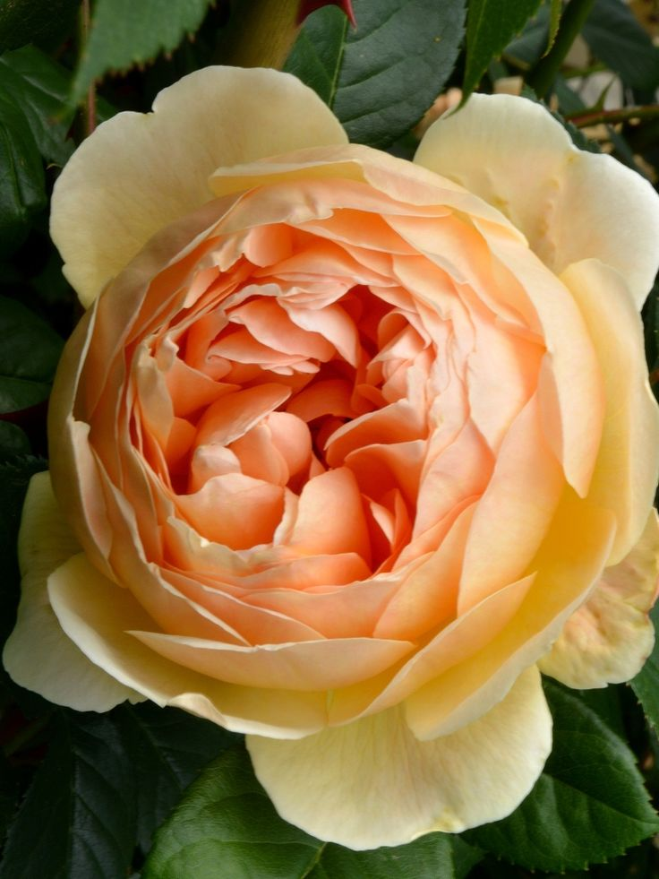 'Jude the Obscure' | David Austin English Rose.  Bred by David C. H. Austin (United Kingdom, 1989) | Flickr - © kevin wood