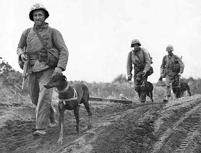 13 Mar 42: The US Army creates the K-9 Corps to train dogs to preform sentry duty at supply depots. Thirty-two breeds of dogs are initially accepted for training, but by 1944 that list will be reduced to seven: German Shepherds, Doberman Pinschers, Belgian Sheep Dogs, Siberian huskies, farm collies, Eskimo dogs, and Malamutes. The Quartermaster Corps will train dog handlers as well as the dogs themselves. #WWII #History