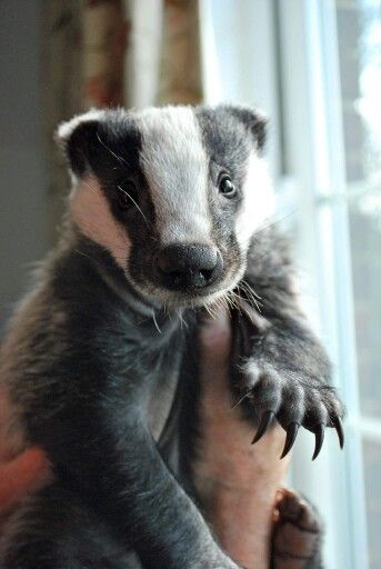 Badger Baby. OMG, he's beautiful!!!  One of my favourite animals, even though they're grumpy buggers, lol.  Soooo flippin' cute!