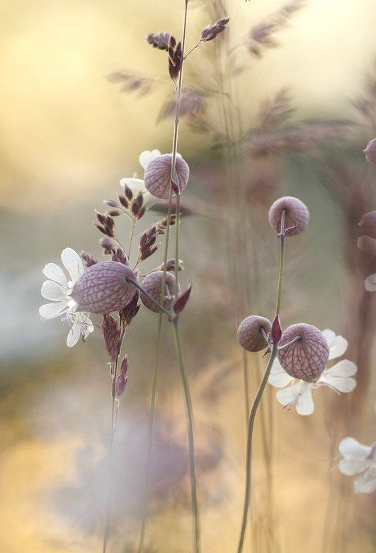 blaassilene. Via Tuyet Phong. Beautiful photo!-- This photo of white flowers in a field has such a soft look to it..quite lovely.