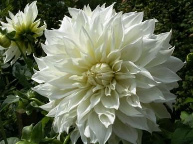 23 best dahlia (dinnerplate) flowers images on pinterest | flower