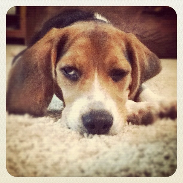 19 best beagles images on pinterest beagles beagle pictures and beagle beagles puppies puppy aw voltagebd Image collections