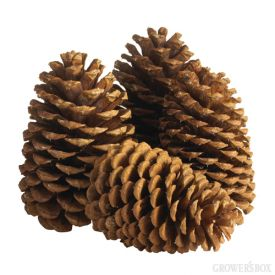 Add pine cones to your list of must-have holiday decor! Pine cones can be placed in jars, tied to wreaths or clustered together to decorate a table. Pine cones are also a one-time purchase which can be used year after year if stored carefully! For pine cones in bulk, visit GrowersBox.com.Decor Ideas, Decorating Ideas, Pine Cones, Pine Trees, Christmas Decor, Pinecone Decor, Holiday Decor, Christmas Trees, Christmas Green