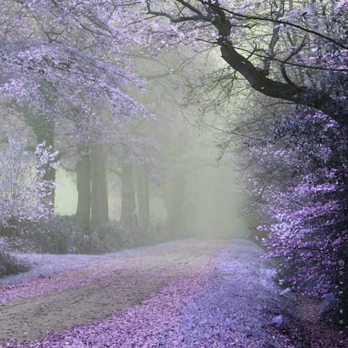 A Walk in the Early Morning Mist: Cherries Blossoms, Walks, Paths, Color, Trees, Violets, Pathways, English Countryside, Roads