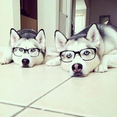 Hipster Huskies http://cheezburger.com/7377166848