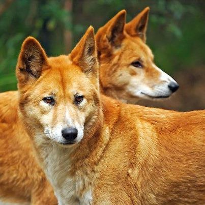 "Australian Dingo. Once regarded as a ""dog breed"" a recent scientific study showed that Dingos are a separate species on their own akin to the now extinct Thylacines. Gorgeous coloring, and amazing regal-ness about them."