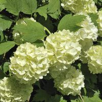 The snowball bush (*Viburnum* spp.) adds showy flowers and lovely fall color to your outdoor space without requiring too much care and maintenance. Some common species include the European snowball bush (*Viburnum opulus* 'Roseum'), which grows perennially in U.S. Department of Agriculture plant hardiness zones 3 to 8; Chinese snowball bush...