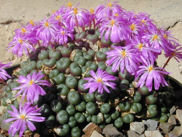Vida Suculenta: Suculentas - Crescimento Inverno e Dormência Verão - Succulents Dormancy