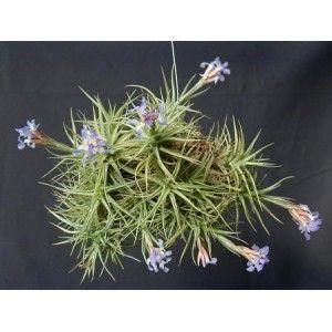 Tillandsia Bergeri nativa de Argentina, donde crece en las rocas de granito.Se forma un tallo bastante fuerte desde donde las hojas gruesas y fuerte crecimiento.Las flores son de color púrpura.