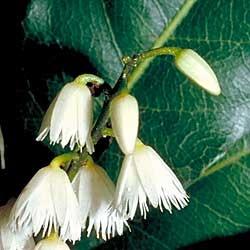 Elaeocarpus reticulatus - Blueberry Ash. Look forward to ours flowering soon!