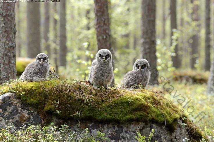 Metsän asukit - lapinpöllö Strix nebulosa pöllö pöllön poikaset kiven päällä…