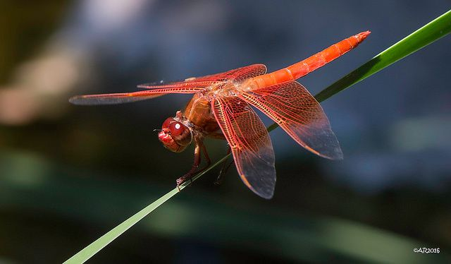 -- Dragonfly at the Santa Barbara Botanic Gardens, Santa Barbara, California --  Colors are the smiles of nature.  ~ Leigh Hunt
