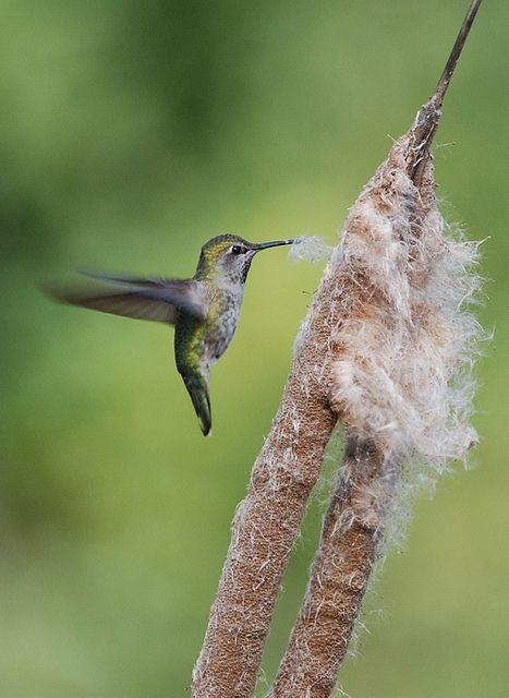 - the hummingbirds picking up cattail tufts for their nest material