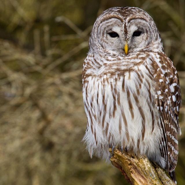 Barred Owl, Presqu'ile Provincial Park, Brighton Ontario.