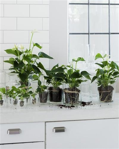 Plants. Planten. Gift of nature - anthurium  Stylist: Klimproducties, Elize Eveleens