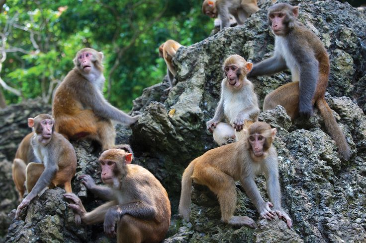 Female rhesus macaques have a strict hierarchy, but the subordinates can buck authority and even climb the social ladder if they're big enough and have enough friends