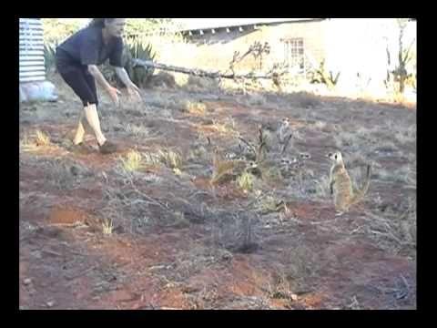 Jackals bullied by meerkats - from book Kalahari Dream http://www.kalahari-dream.com