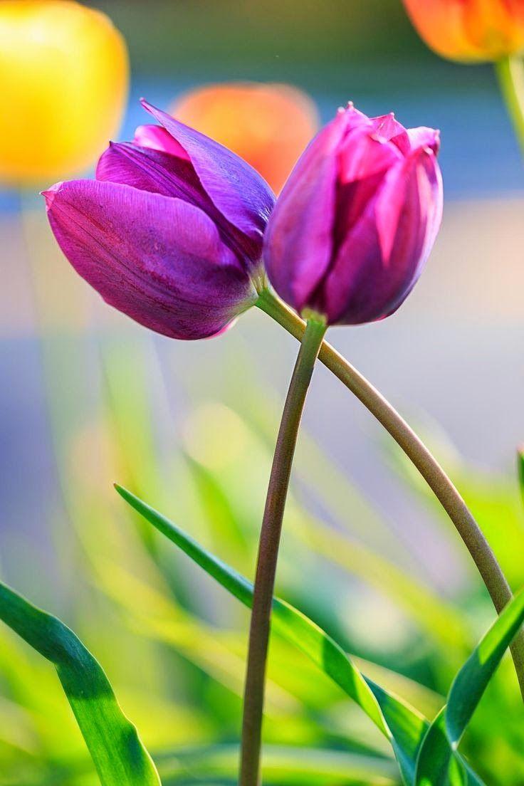 best tulips my favorite flower images on pinterest